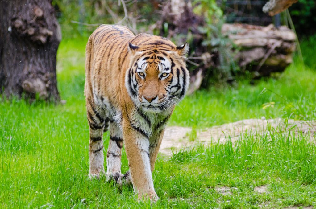 animal-big-cat-blur-145932